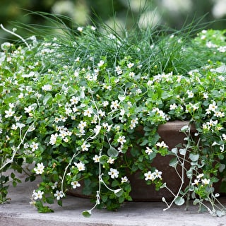 Bacopa cordata 'Snowtopia Improved'