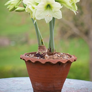 Amaryllis 'Lemon Star' Gift Set Kit