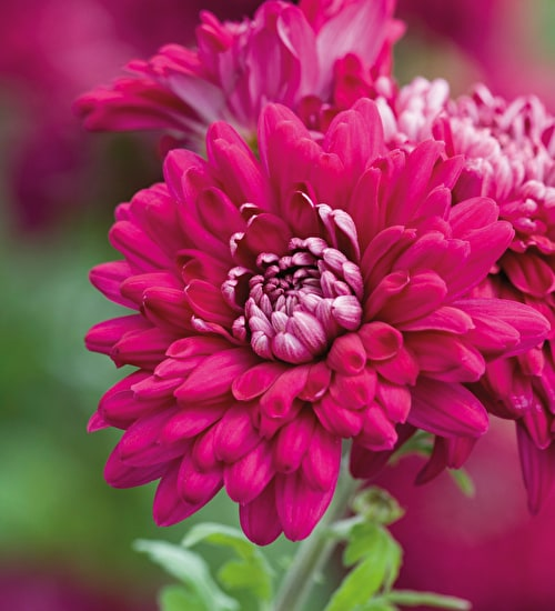 Chrysanthemum 'Sheer Purple'