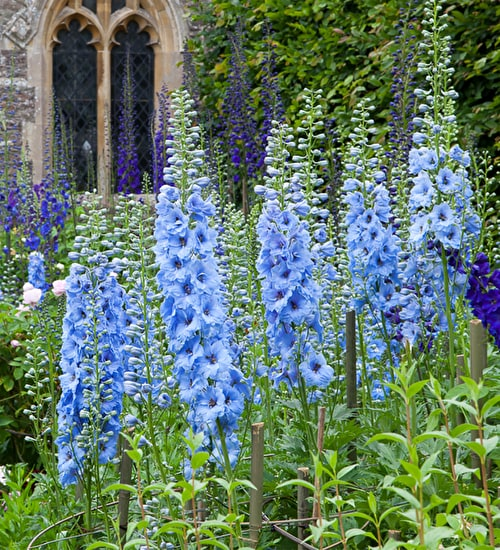 Delphinium 'Magic Fountains Sky Blue'