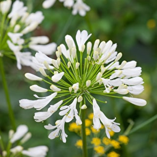 Grow Together: Agapanthus and Verbascum