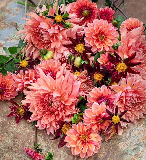 New Favourites Dahlia Collection
