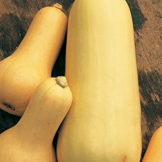 Squash 'Early Butternut'