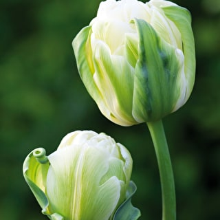 Tulip 'Double Maureen'