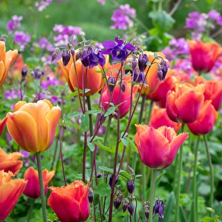 The Oast Garden Tulip Collection