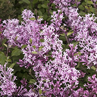 Syringa 'Bloomerang Dark Purple'